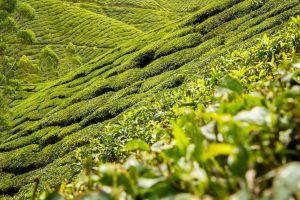Pěstování červeného čaje na hubnutí