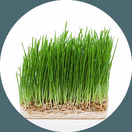 Mladá pšenice