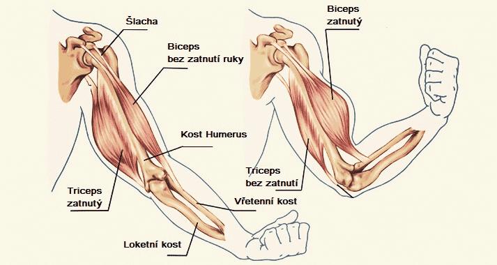 Anatomie svalů na pažích