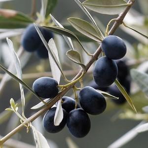 Olivové listy