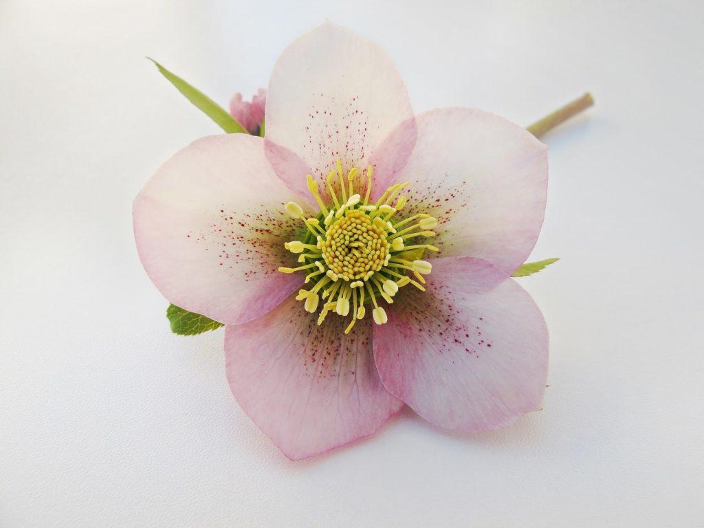 Květ morozniku