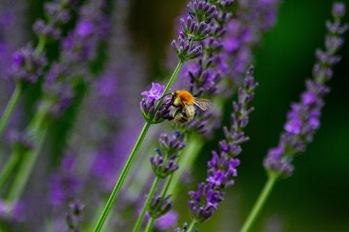 Levandulový med posiluje imunitní systém a ulevuje při popáleninách.