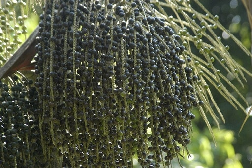 Palma bobulí superpotraviny acai