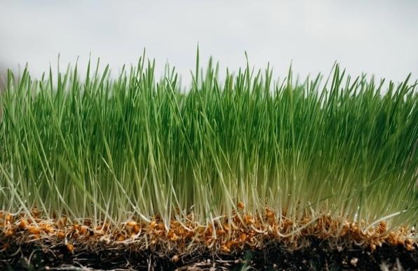 Vypěstovaná mladá pšenice s viditelnými pšeničnými klíčky - forma nevhodná z hlediska zdravotních benefitů
